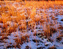 Red Grass in the Snow