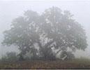 Liveoak in Fog
